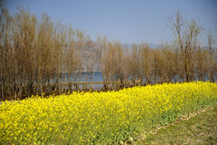Canola flower. In Dali, China Stock Image