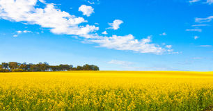 Panorama view of canola flower field Stock Images