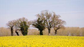 Canola in flower. A field of flowering Oil seed rape/Canola surrounding some elm tree`s during early April in Norfolk, UK stock photography