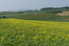 Canola flower field Royalty Free Stock Images