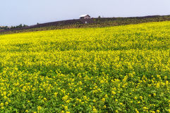Canola flower field Stock Images
