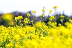Canola flower field in jeju island close ups. Canola flower field in jeju island during canola flower festival nearby seongsan ilchulbong royalty free stock image