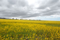 Canola flower field in the spring Stock Photography