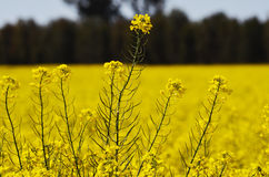 Canola flower Royalty Free Stock Photography