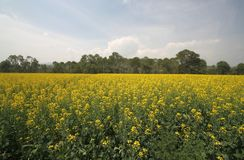 Canola flower fields. In chinese village Stock Photography