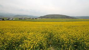 Canola flower fields. In chinese village Royalty Free Stock Image