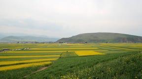 Canola flower fields stock photo