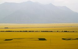 Canola flower fields. In chinese village Stock Photo