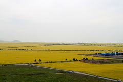 Canola flower fields Royalty Free Stock Images