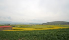 Canola flower fields. In chinese village Royalty Free Stock Photo