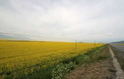 Canola flower fields. In chinese village Stock Images