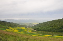Canola flower. Here is the Chinese Qinghai door source County Stock Photography