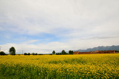 Canola flower. Here is the Chinese Qinghai Province MenYuan County Stock Image