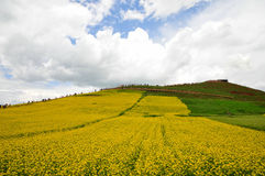 Canola flower. Here is the Chinese Qinghai Province MenYuan County Royalty Free Stock Photography