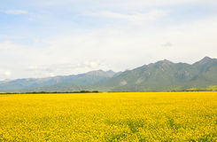 Canola flower. Here is the Chinese Qinghai Province MenYuan County Royalty Free Stock Photos