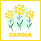 Canola flower  illustration. Canola flower concept in flat style. Canola flowers Stock Image