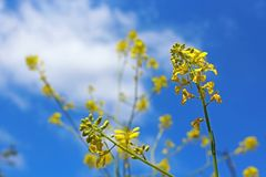 Canola flower, Marian Bear Memorial Park, San Diego. Yellow Canola flower is in full bloom under blue sky at Marian Bear Memorial Park, San Diego, California stock image