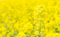 Canola flower Royalty Free Stock Photos
