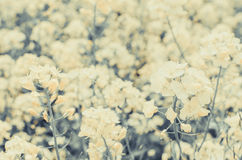 Canola flower Royalty Free Stock Photo