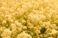 Canola flower Stock Photos