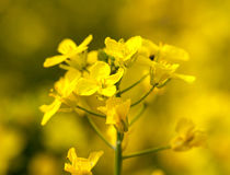Canola flower used for oil and energy Stock Image
