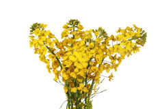 Canola flower. With white background royalty free stock image