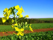 Canola Flowers Stock Photos