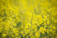 Canola flowers Stock Image