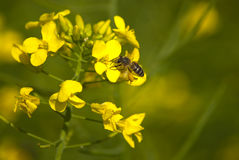 Canola flowers with bee Stock Image