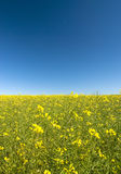 Canola flowers with blue sky Royalty Free Stock Image