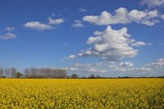 Canola flowers and blue sky Royalty Free Stock Images
