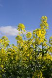 Canola flowers Royalty Free Stock Photo