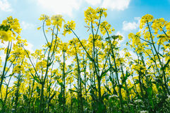Canola flowers Stock Photography