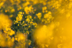 Canola flowers, colza. Yellow rapeseed flowers. Nature backgroun Royalty Free Stock Image