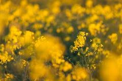 Canola flowers, colza. Yellow rapeseed flowers. Nature backgroun Stock Image