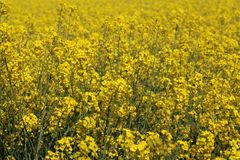 Canola flowers Royalty Free Stock Photos