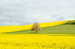 Canola flowers in field Royalty Free Stock Photography