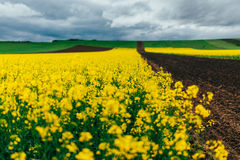 Canola flowers in field Stock Photography