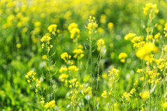 Canola flowers in a field Royalty Free Stock Photo