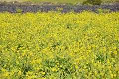 Canola flowers in full bloom royalty free stock image