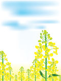 Canola Flowers Landscape_eps. Illustration of canola flowers landscape with blue white cloud sky. --- This .eps file info Version: Illustrator 8 EPS Document: 9 Stock Illustration