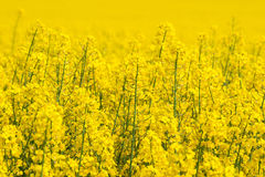 Canola flowers on a yellow field. In the summer Royalty Free Stock Photo