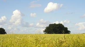 Canola gebied-I-noordelijk Duitsland Royalty-vrije Stock Foto's