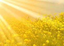 Canola gouden zonneschijn stock afbeelding