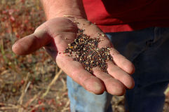 Canola Grain in Man's Hand Stock Images