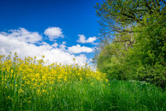 Canola on a green meadow Stock Images