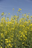 Canola growing in  Manitoba Royalty Free Stock Photo