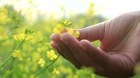 Canola in hand. Asian girl hand touch canola flowers stock footage