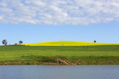 Canola Hill Cowra. Flowering canola growing on a hill in the country township of Cowra in Central West NSW Royalty Free Stock Photography
