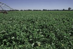 Canola irrigato Fotografia Stock Libera da Diritti